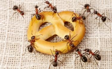 Борьба с муравьями в квартире народными средствами
