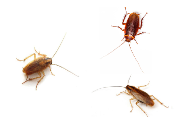 Как избавиться от тараканов народными средствами?